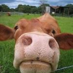 cow-face-300x225
